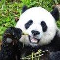 PandaOz